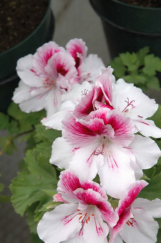 Martha Washington Geranium 'Elegance Bravo' Pelargonium!
