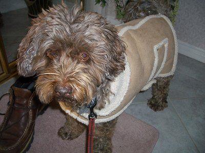 Fudge, aka Fudgie, the Beagle Poodle mix (Poogle) at 10 years old
