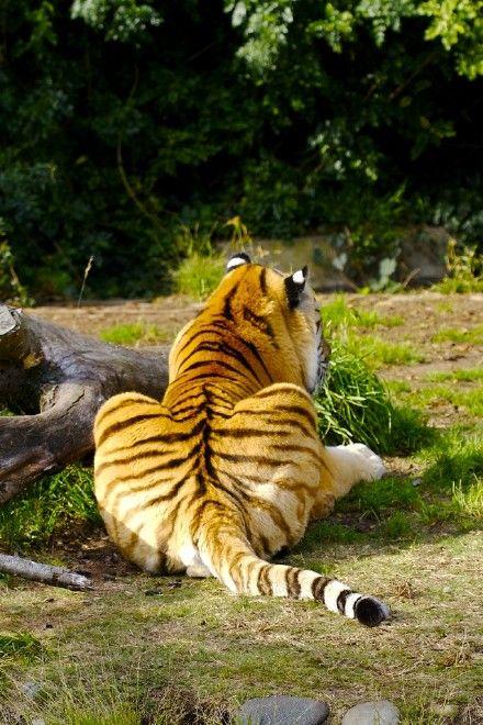 #tiger #tail