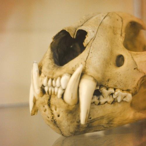 lion skull specimen - taxidermy animal bone fine art photo print - 5 x 5. Available at http://www.etsy.com/shop/TheAstralGypsy?ref=seller_info