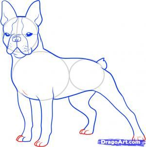 How to draw a boston terrier 2