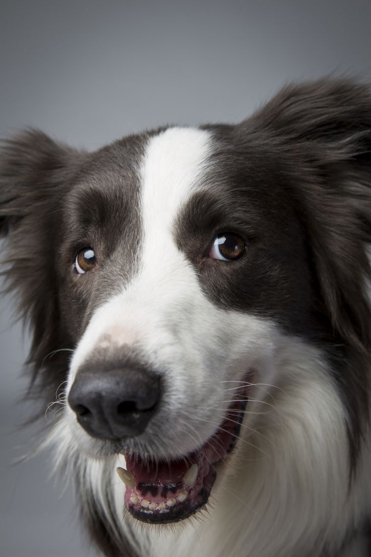 colliepops meet the collie club