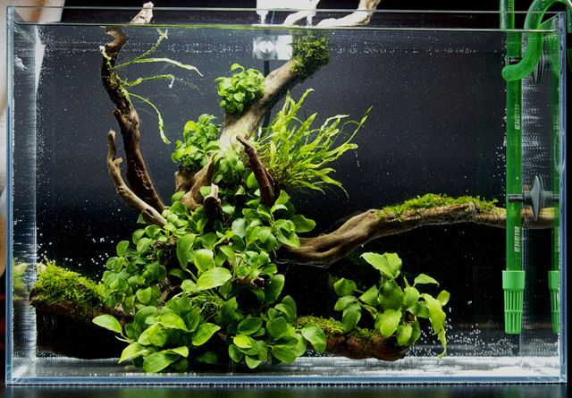 Anubias aquascape wabi kusa pinterest beautiful logs and look at - Design aquasacpe ...