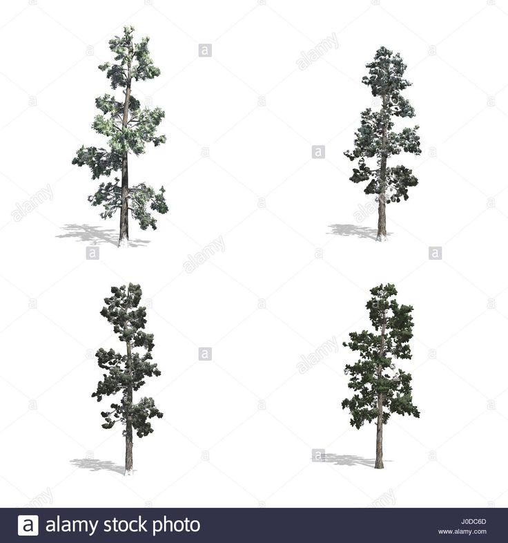 Piner fák, elszigetelt fehér háttérrel.  Stock fotó