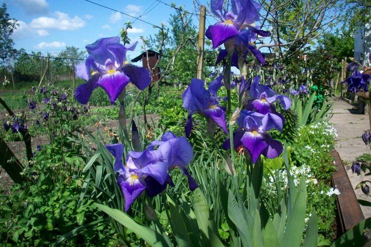 Purple beauties. Iris