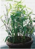 GOODKARMA Dwarf BAMBOO. INDO CALAMUS. I am a commercial grower of hundreds of varieties of plants and have chosen to grow only one variety of bamboo. I am so fond of this bamboo that I have found no other bamboo I like better. I don't like the regular bigger varieties as they tend to over grow and are difficult to get them to stay where they are wanted. Not so with this attractive bamboo. Easily contained.$20