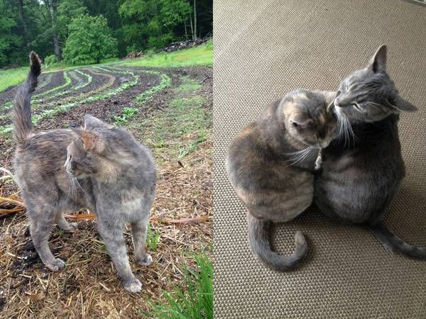 "Missing grey cat ""Jenga"" (Sterling) torti calico 63 Spring"