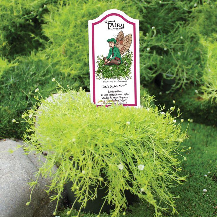 Fairy Flowers   Leou0027s Scotch Moss   Fairy Gardening, Inc.