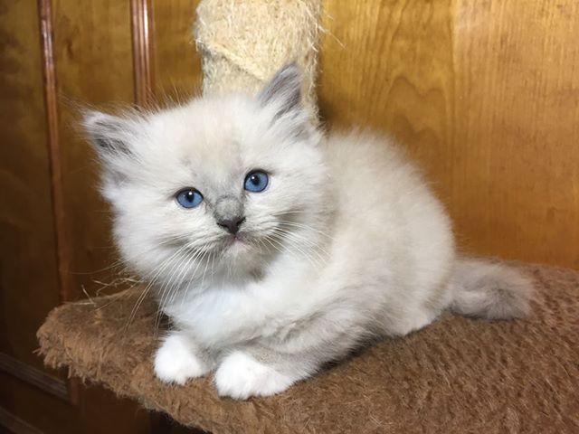 Blue Mitted Mink Ragdoll Kitten Www Genotypecats Com Genotypecats Ragdollcat Ragdollkittens Fluffy Kittens Cats P Cat Breeder Ragdoll Kitten Ragdoll Cat