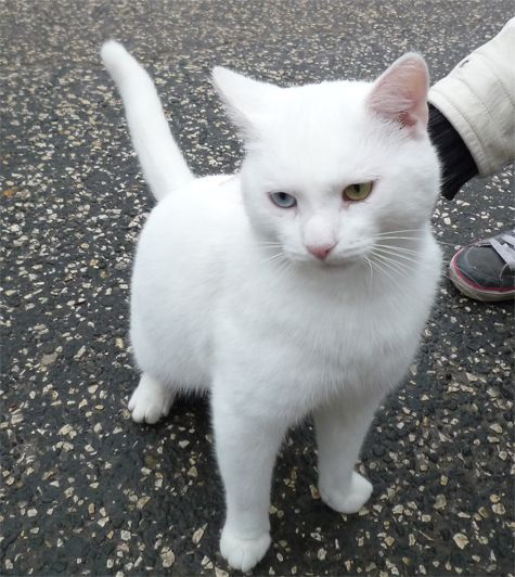 White short haired cat