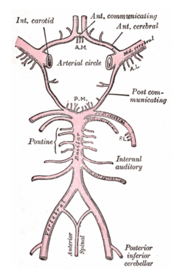 9 best Circle of Willis images on Pinterest | Circle of willis ...