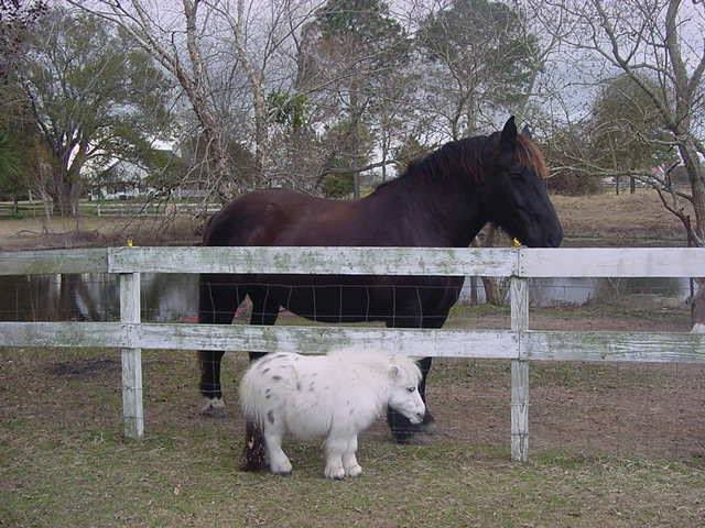 Dwarfism in Miniature Horses | Here's a good comparison. So adorable!! hes so cute