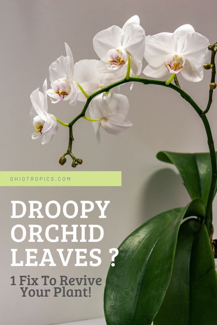 Droopy Orchid Leaves 1 Fix To Revive Your Plant In 2020 Orchid Leaves Orchids Plants