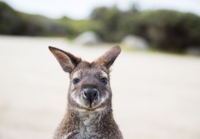 Share the beach with one of these cute guys at Friendly Beaches on the Tasmania's East Coast.
