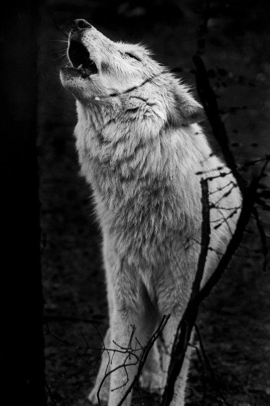 On ne dompte ni domestique un loup, on l'apprivoise et apprends à l'aimer.