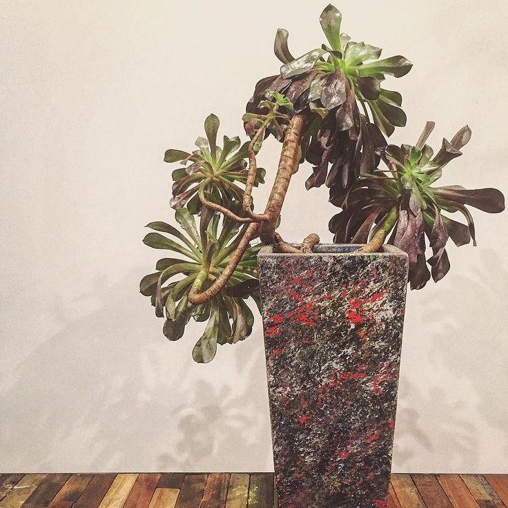最近#アエオニウム との素敵な出会いが続きます これは昨日横浜からの帰りに出会ったアエオニウムU字に反った枝のうねり具合と最大25cmの葉の広がりを持つ巨大株こちらも以前からあった#陶器 #鉢 をラフに#ペイント して植え替え背面から撮影  #aeonium #succulent #succulents #cacti #cactus #plant #plants #beautiful #art #pot #flowerpot #paint #painting #interior #多肉植物 #多肉 #植物 #黒法師 by kamishima_toru