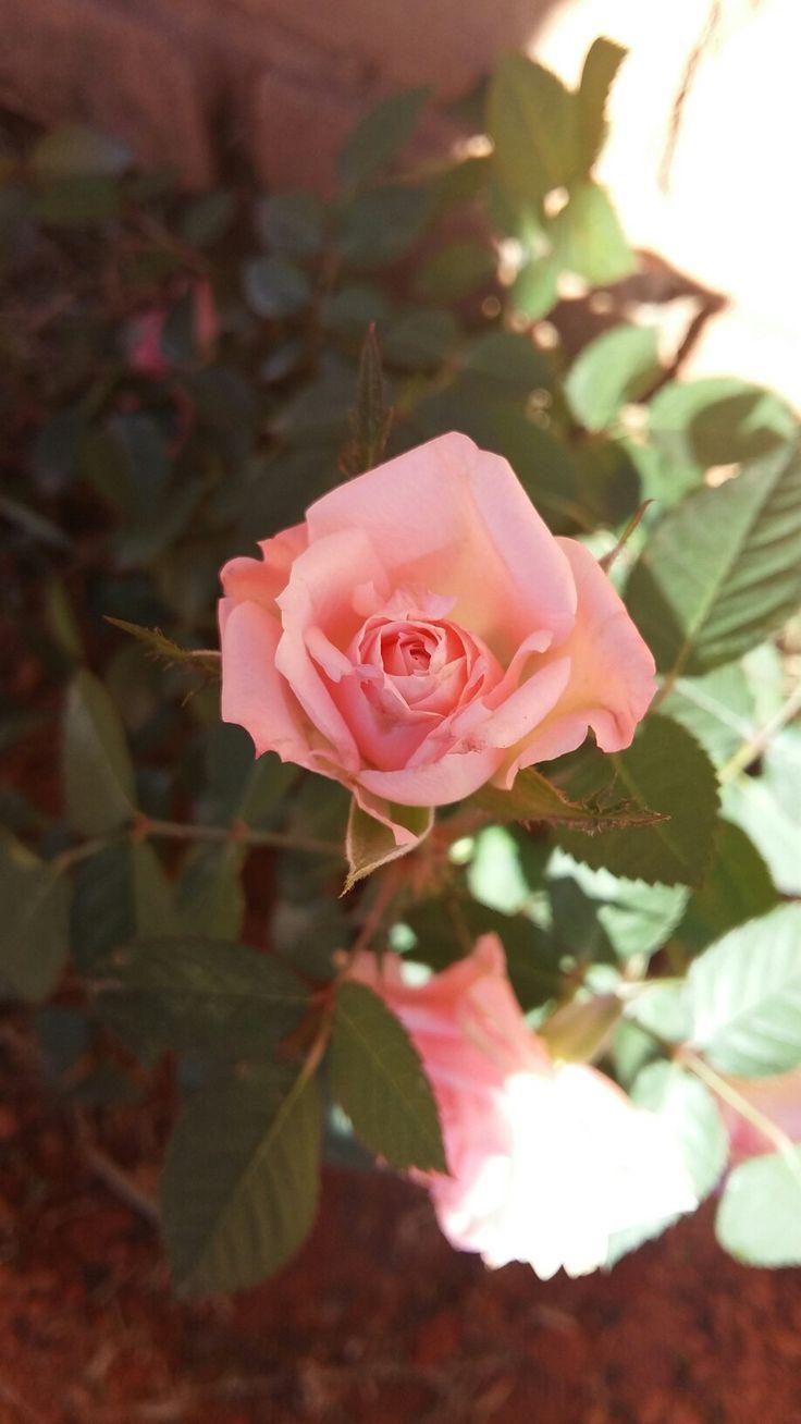 Mini rosa rosa