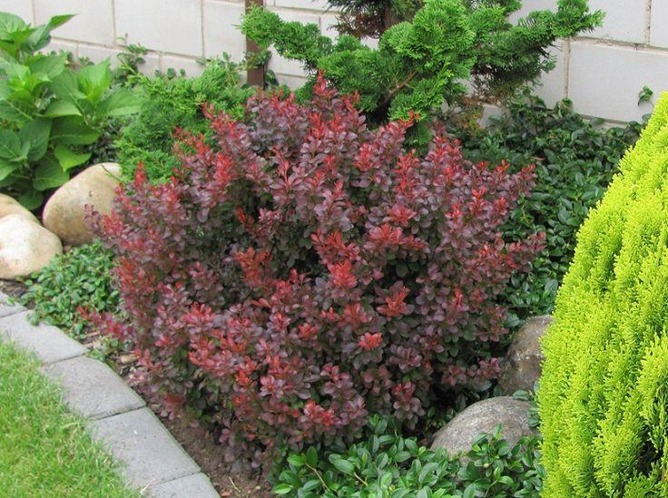 berberis thunbergii 39 atropurpurea nana 39 g a r d e n c a r e pinterest search. Black Bedroom Furniture Sets. Home Design Ideas