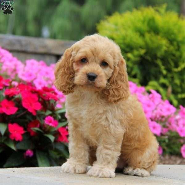 Cockapoo Puppies For Sale Alberta Canada