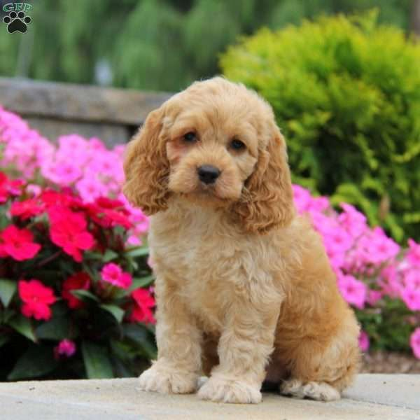 This is Pepper! He is an adorable Cockapoo puppy with a personality to match. Pepper is spunky and yet loves to snuggle. This pup is vet checked, current on shots and wormer and socialized with children. This all around great pup is ready for a new home. Please contact the breeder to find out more about Pepper.