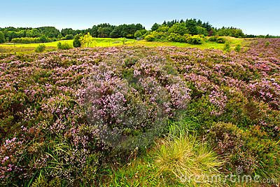 Stock Photo about Fields of heather