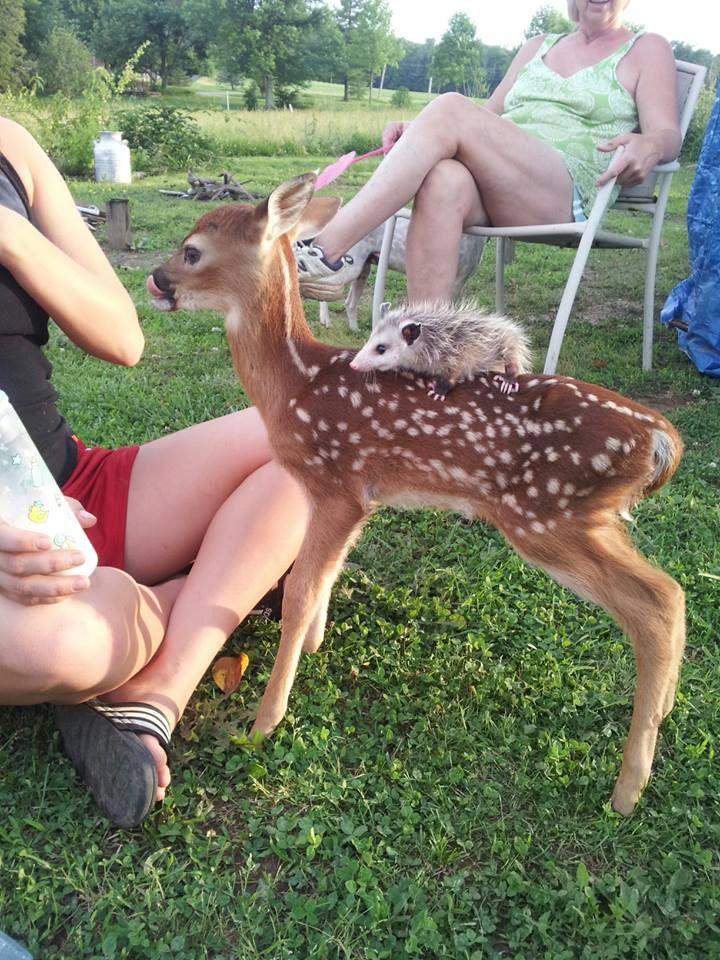 Opossum gave Baby Deer's coat a long, luxurious combing before the pair searched for four-leaf clovers together.