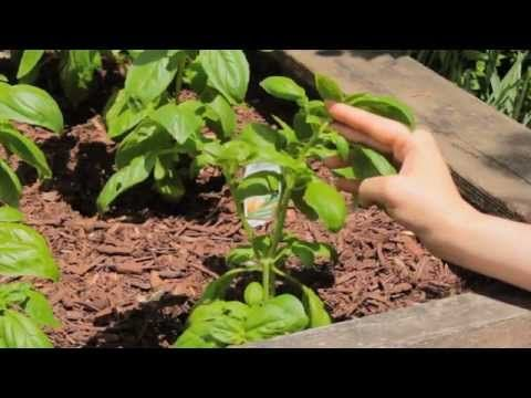 How To Prune Basil - A video tutorial from Practically Functional