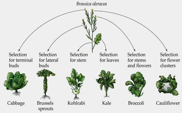 "Livingwind: "" Same plant species, just different cultivars."" #plant breeding #brassicas"
