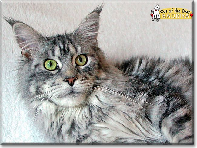 Read Badriya the Maine Coon's story from Bahretal, Germany and see her photos at Cat of the Day http://CatoftheDay.com/archive/2014/March/03.html .