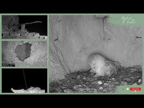 Barn Owl Live Cam | See 2 Barn Owl Chicks! | North ...