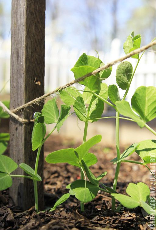 How to make an easy trellis for growing peas, bean and tomatoes. Easy DIY trellis to build for vertical gardening. Growing vegetables on a trellis.