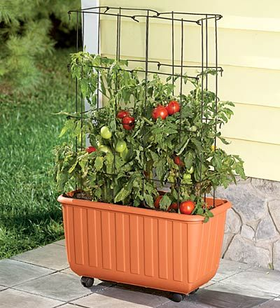 The Rolling Self-Watering Tomato Planter makes it easier than ever to grow and enjoy luscious, homegrown tomatoes. Just add potting soil and plant food and roll the tub wherever it's convenient or where plants can get the most sun.