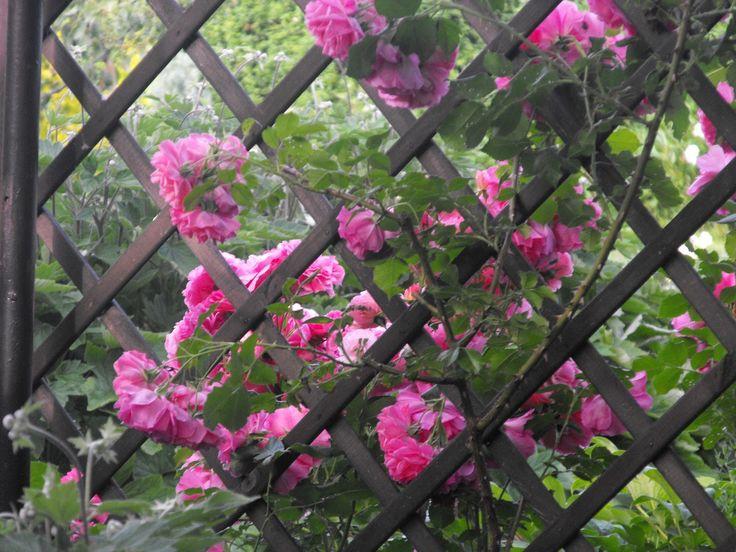 W świecie piękna natury: Piękno zamknięte  w płatkach róż