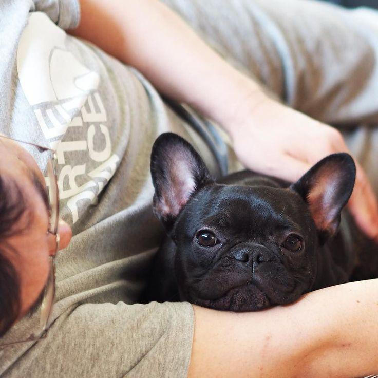 'Daddy's Arm rest', French Bulldog Puppy :)