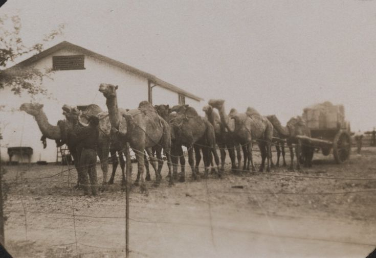 BA1410/2/130: Afghan's camel waggon off bush with station stores, 1925. http://encore.slwa.wa.gov.au/iii/encore/record/C__Rb4726160__SAfghan%27s%20camel%20waggon%20off%20bush%20with%20station%20stores.__Orightresult__U__X6?lang=eng&suite=def