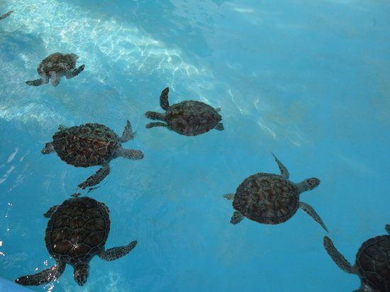 Cayo Largo turtles