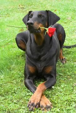 The Doberman Pinscher ranks among one of the most highly trainable breeds and it possesses an innate joy of working with and for its handler.""