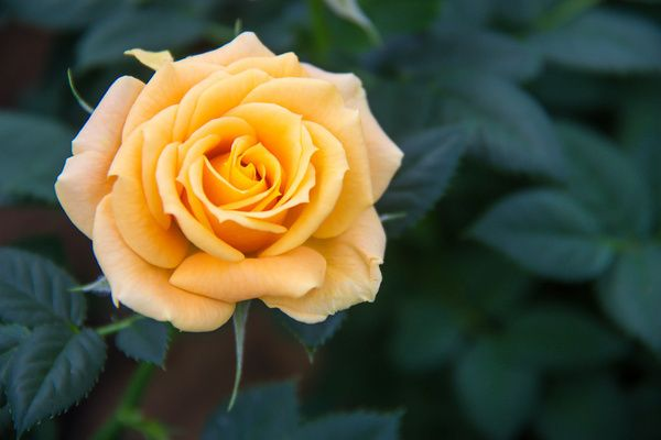Rose Free Stock Photos In Jpg Format For Free Download 1 55mb