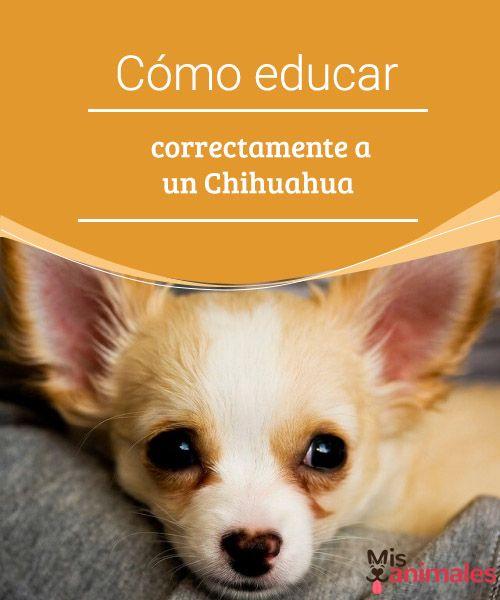 Cómo Educar Correctamente A Un Chihuahua Pequeño Pero Matón Es Un Dicho Español Que Va Totalmente Acorde Con La Cachorros Chihuahua Chihuahua Perros Chihuahua