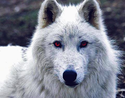 This is Ghost from the Game of Thrones, a very nice pic of such a beautiful dire wolf.