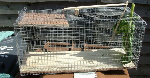 Making a really simple rabbit trap - http://www.instructables.com/id/Making-a-Rabbit-Trap/
