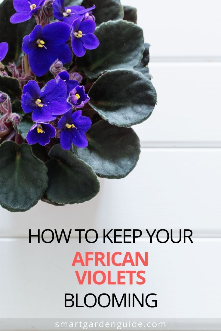 How To Get An African Violet To Bloom Again