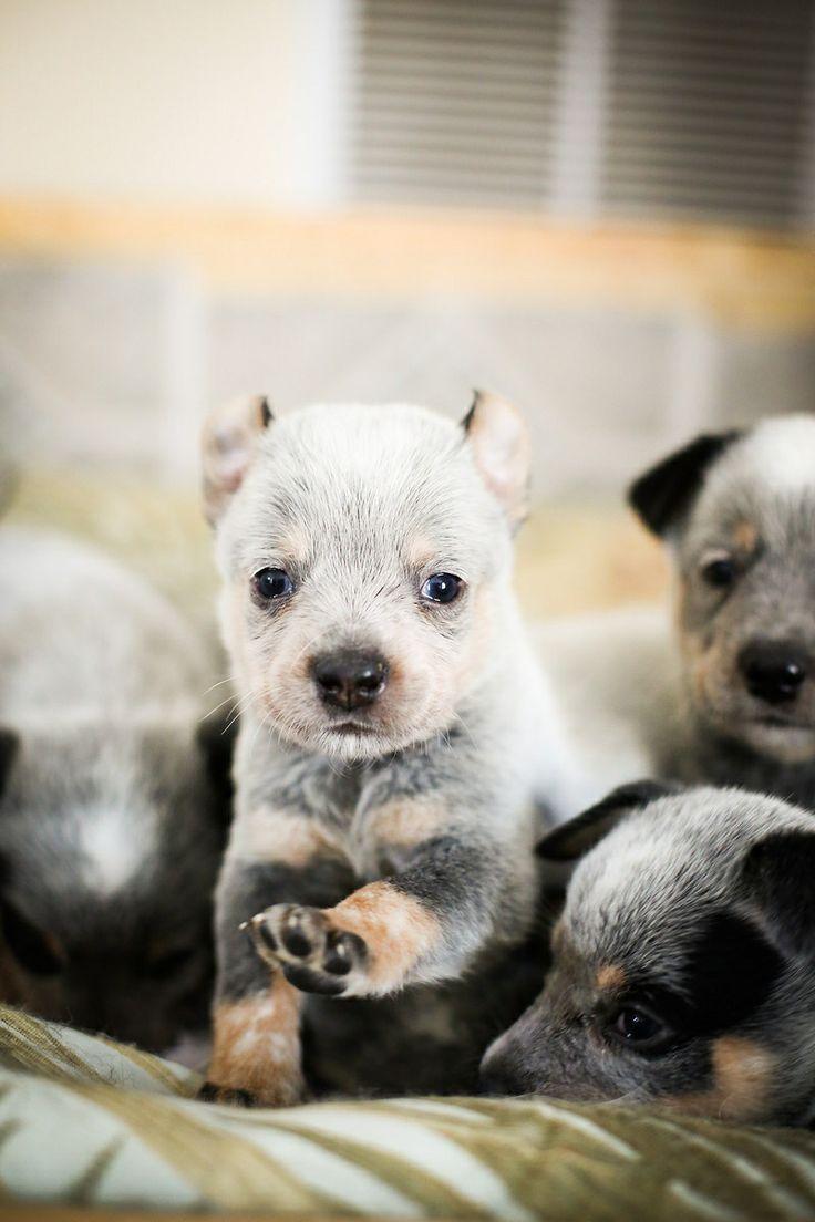 Blue Heeler Puppies For Sale In Arkansas - Siler country heelers