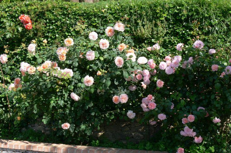 Il rosaio
