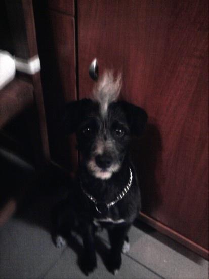 Mi perro es un cruce de Bodeguero y Yorsay. Es puro nervio.