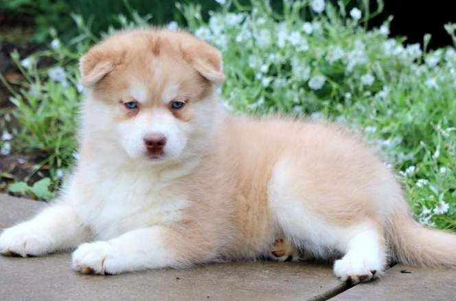 Victoria Pomsky Puppies For Sale Pomsky Puppies Puppies For Sale