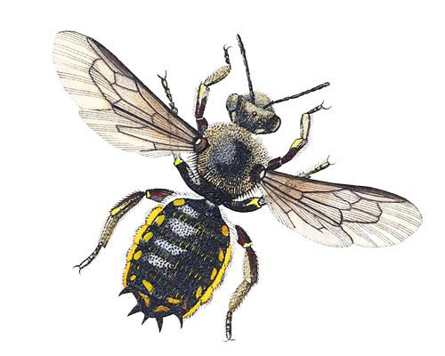 Wool Carder Bee - Anthidium manicatum