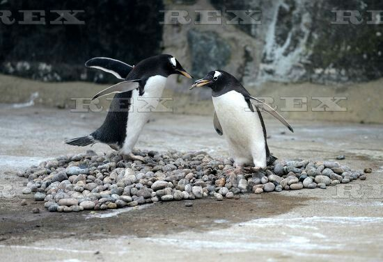 Penguin breeding season begins at Edinburgh Zoo, Scotland, Britain - 02 Mar 2016  A penguin woos with a pebble and places it in the nest ring 2 Mar 2016