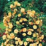 Мобильный LiveInternet Выращивание плетистых роз. | КУЛИНАРКА_706 - Дневник КУЛИНАРКА 706 |