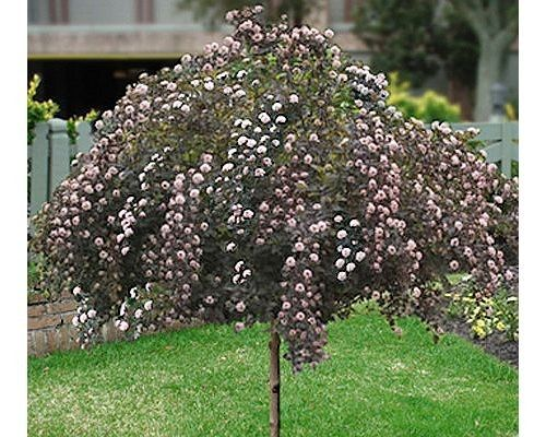 17 Best Images About Trees Small On Pinterest Gardens
